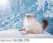 Купить «Сибирский Невский Маскарадный котенок, зимняя сказка», фото № 24280378, снято 27 октября 2016 г. (c) ElenArt / Фотобанк Лори