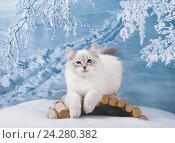 Купить «Сибирский Невский Маскарадный котенок в зимнем лесу на снегу», фото № 24280382, снято 27 октября 2016 г. (c) ElenArt / Фотобанк Лори