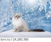 Купить «Сибирский Невский Маскарадный котенок, зимняя сказка», фото № 24280386, снято 27 октября 2016 г. (c) ElenArt / Фотобанк Лори