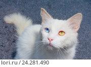 Белый кот с гетерохромией подозрительно смотрящий. Стоковое фото, фотограф Сергей Васильев / Фотобанк Лори