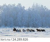 Купить «Табун миниатюрных лошадей и пони зимой в поле», фото № 24289826, снято 22 января 2016 г. (c) Абрамова Ксения / Фотобанк Лори