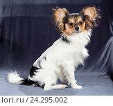 Купить «Portrait of a six months dog breed Papillon», фото № 24295002, снято 5 сентября 2016 г. (c) Сергей Лаврентьев / Фотобанк Лори