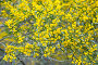 acacia dodonaefolia yellow flowers, фото № 24296954, снято 1 декабря 2016 г. (c) Яков Филимонов / Фотобанк Лори