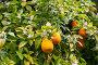orange fruits in garden, фото № 24296970, снято 13 мая 2016 г. (c) Яков Филимонов / Фотобанк Лори