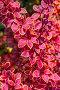 Барбарис Тунберга (Berberis thunbergii `Coronita`). Декоративный садовый кустарник, фото № 24301626, снято 28 мая 2016 г. (c) Евгений Мухортов / Фотобанк Лори