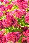Очиток видный (Sedum spectabile). Осеннее цветение, фото № 24301910, снято 8 октября 2015 г. (c) Евгений Мухортов / Фотобанк Лори