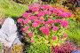 Очиток видный (Sedum spectabile). Цветущий куст на дачном участке, фото № 24301938, снято 8 октября 2015 г. (c) Евгений Мухортов / Фотобанк Лори