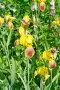 Желтые бородатые ирисы (лат. Iris barbatus), фото № 24306850, снято 18 июня 2016 г. (c) Елена Коромыслова / Фотобанк Лори