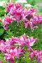 Lots of pink lilies on background of white hydrangeas in garden, фото № 24309038, снято 8 июля 2016 г. (c) Володина Ольга / Фотобанк Лори