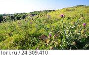 Купить «Thickets of prickly Thistle in wild nature», видеоролик № 24309410, снято 30 ноября 2016 г. (c) Володина Ольга / Фотобанк Лори