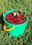 Красная черёмуха в ведре, фото № 24310146, снято 3 августа 2015 г. (c) Марина Орлова / Фотобанк Лори