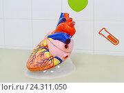Макет человеческого сердца. Стоковое фото, фотограф Наталья Уварова / Фотобанк Лори