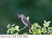 Купить «Сорокопут-жулан. Common Shrike (Lanius collurio)», фото № 24315362, снято 8 августа 2013 г. (c) Василий Вишневский / Фотобанк Лори