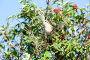 Сорокопут-жулан, Lanius collurio. The nest of the Common Shrike in nature., фото № 24315390, снято 27 июня 2011 г. (c) Василий Вишневский / Фотобанк Лори