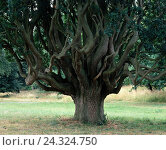 Купить «Oak, old, branches, sinuously, tree, broad-leaved tree, Quercus, beech family, trunk, strain, thickly, branches, curved, height form, Abnormally, nature, plant», фото № 24324750, снято 3 марта 2003 г. (c) mauritius images / Фотобанк Лори