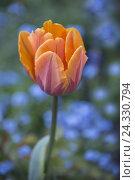 Купить «Tulip and forget-me-not», фото № 24330794, снято 15 мая 2013 г. (c) mauritius images / Фотобанк Лори