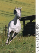 Купить «Belt, horse, Andalusian, mare, gallop, outside, pasture, female, mould, animal, uncloven-hoofed animal, hoofed animal, horses, riding horse, riding animal, gallop, gait, quickness, motion», фото № 24337490, снято 31 января 2008 г. (c) mauritius images / Фотобанк Лори