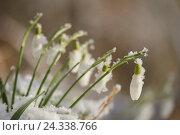 Купить «Small snow little bells, Galanthus nivalis, blossoms, medium close-up», фото № 24338766, снято 7 марта 2016 г. (c) mauritius images / Фотобанк Лори