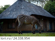 Купить «A tame zebra in the garden of a Resorts close to Lusaka, Zambia», фото № 24338954, снято 21 декабря 2015 г. (c) mauritius images / Фотобанк Лори