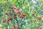 Вишня обыкновенная или садовая ( лат. Cerasus vulgaris ). Многочисленные ягоды на ветке, фото № 24365750, снято 14 июля 2016 г. (c) Евгений Мухортов / Фотобанк Лори