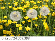 Купить «Meadow buttercup and meadow dandelion Ranunculus acris», фото № 24369398, снято 22 июля 2018 г. (c) mauritius images / Фотобанк Лори