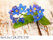 Купить «Forget-me-not blossoms, wooden ground,», фото № 24373110, снято 17 августа 2018 г. (c) mauritius images / Фотобанк Лори
