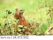 Купить «Capercaillie, Tetrao urogallus, female, forest soil, head-on, standing», фото № 24373502, снято 24 марта 2019 г. (c) mauritius images / Фотобанк Лори