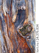 Купить «Centuries old larch», фото № 24376834, снято 14 августа 2018 г. (c) mauritius images / Фотобанк Лори