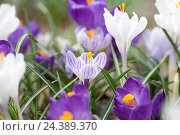 Купить «Crocuses, iris plants, Iridaceae,», фото № 24389370, снято 18 июля 2018 г. (c) mauritius images / Фотобанк Лори