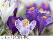 Купить «Crocuses, iris plants, Iridaceae,», фото № 24389402, снято 23 июля 2018 г. (c) mauritius images / Фотобанк Лори