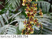 Купить «flowers, botany, blossoms, orchids», фото № 24389754, снято 20 июля 2018 г. (c) mauritius images / Фотобанк Лори