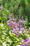 Цветущая Хоста ( Hosta ) рядом с горной Сосной, фото № 24391930, снято 10 июля 2016 г. (c) Евгений Мухортов / Фотобанк Лори