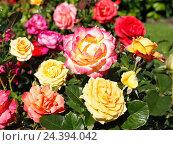 Купить «Roses, different, brightly, garden», фото № 24394042, снято 21 августа 2018 г. (c) mauritius images / Фотобанк Лори