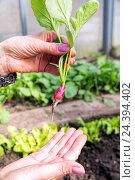 Купить «Женщина собирает урожай редиса», фото № 24394402, снято 15 мая 2016 г. (c) Евгений Ткачёв / Фотобанк Лори