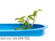 Купить «Зеленая рассада в синей пластиковой чашке из под майонеза», фото № 24394702, снято 30 марта 2015 г. (c) Евгений Ткачёв / Фотобанк Лори