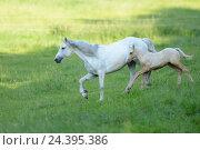Купить «Connemara pony, mare with foal, belt, side view, running,», фото № 24395386, снято 20 августа 2018 г. (c) mauritius images / Фотобанк Лори