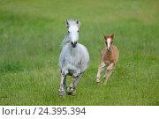 Купить «Connemara pony, mare with foal, belt, head-on, running, looking at camera,», фото № 24395394, снято 20 августа 2018 г. (c) mauritius images / Фотобанк Лори