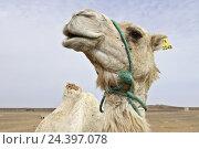 Купить «Africa, Morocco, Merzouga, Erg Chebbi, Sahara, camel, close-up,», фото № 24397078, снято 16 июля 2018 г. (c) mauritius images / Фотобанк Лори
