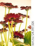 Купить «Flower, vase, red, gerbera,», фото № 24397326, снято 16 августа 2018 г. (c) mauritius images / Фотобанк Лори