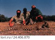 Купить «Africa, hunt, big game hunt, men, hunting prey, leopard, Panthera pardus, leisure time, hobby, big game hunter, hunter, amateur hunter, prey, hunting prey...», фото № 24406870, снято 20 июля 2018 г. (c) mauritius images / Фотобанк Лори