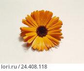 Купить «Marigold (Calendula spec.), detail, blossom, yellow blossom, flower, medicinal plants, cut out, antibacterial, anti-inflammatory», фото № 24408118, снято 16 июля 2018 г. (c) mauritius images / Фотобанк Лори