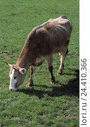 Купить «Limousin cattle, pasture, graze animal, animals, mammal, mammals, tree bark, cattles, cow, cows, benefit animal, benefit animals, horn animal, horn animals...», фото № 24410366, снято 17 августа 2018 г. (c) mauritius images / Фотобанк Лори