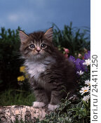 Купить «Maine Coon cat, young, sit, birch strain, flowers, animal, animals, mammal, mammals, Mammalia, cat, cats, Felidae, kittens, young animal, young animals, cat's children, trunk, flower meadow, outside», фото № 24411250, снято 29 января 2001 г. (c) mauritius images / Фотобанк Лори