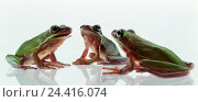 Купить «Frogs, Rana spec. Studio, cut out, green, amphibians, three no specifics originator», фото № 24416074, снято 12 июля 1990 г. (c) mauritius images / Фотобанк Лори