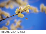 Купить «Catkins, branch, detail, bee, pasture, Salix, Sallow, pussy willow, blossoms, blossoming, flower pollen, inflorescence, pollen, polling, insects, insect...», фото № 24417662, снято 19 октября 2004 г. (c) mauritius images / Фотобанк Лори