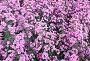 Розовые цветы, фото № 24421994, снято 1 декабря 2016 г. (c) Алексей Кузнецов / Фотобанк Лори