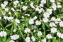 Белые цветы и зелёные листья, фото № 24422122, снято 1 декабря 2016 г. (c) Алексей Кузнецов / Фотобанк Лори