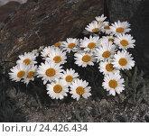 Купить «Alp chrysanthemum, chrysanthemum alpinum, nature, botany, plants, flowers, Alpine flowers, alp chrysanthemum, Tanacetum alpinum, Leucanthemopsis alpina...», фото № 24426434, снято 22 сентября 2005 г. (c) mauritius images / Фотобанк Лори