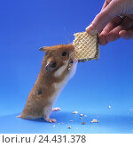 Купить «Golden hamsters, Mesocricetus auratus, hand, detail, chocolate waffle, feed, studio, animal, rodent, mammal, pet, hamster, lining, food, nutrition, waffle, sweetness, unhealthily», фото № 24431378, снято 14 января 2003 г. (c) mauritius images / Фотобанк Лори