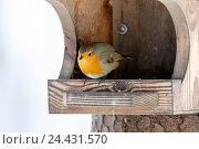 Купить «Зарянка. Robin (Erithacus rubecula).», фото № 24431570, снято 20 ноября 2016 г. (c) Василий Вишневский / Фотобанк Лори